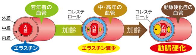 血管の外膜には硬いコラーゲンが多く、内膜には柔軟性のあるエラスチンが多い。